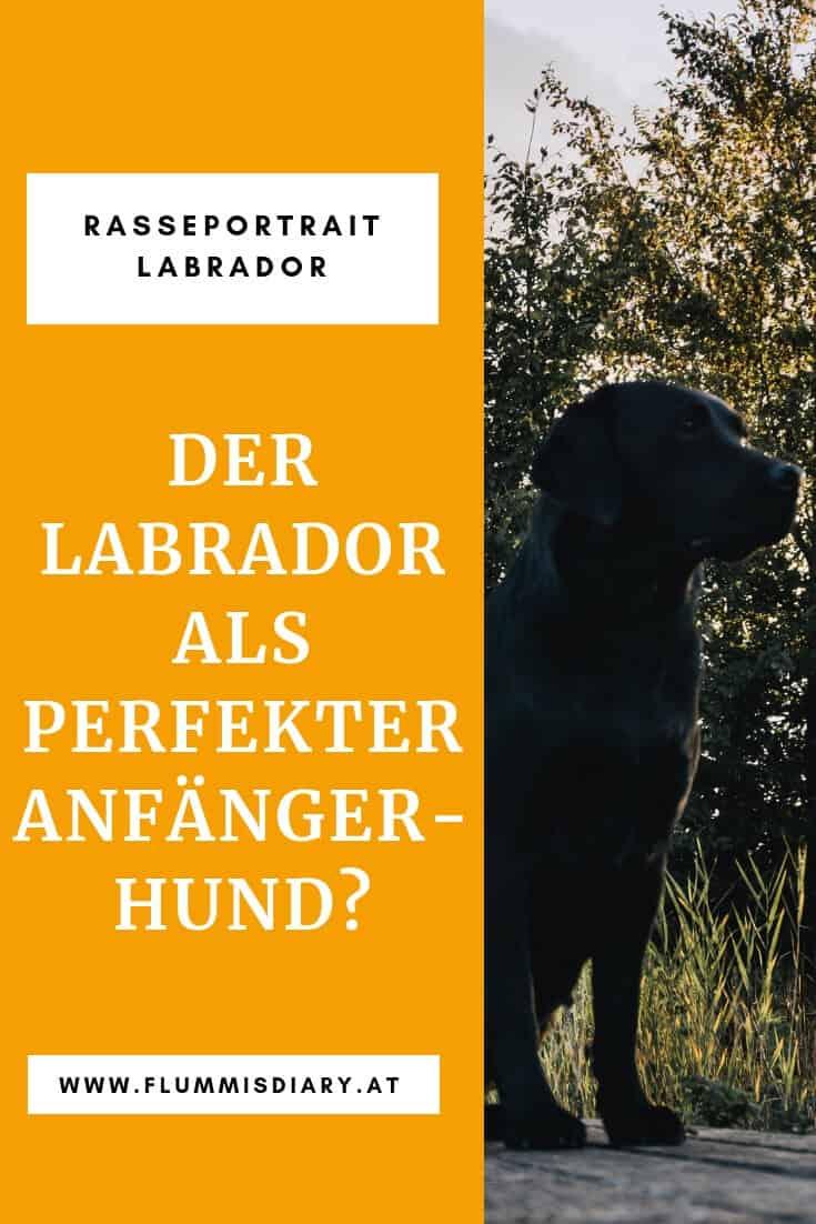 labrador-anfaenger-hund